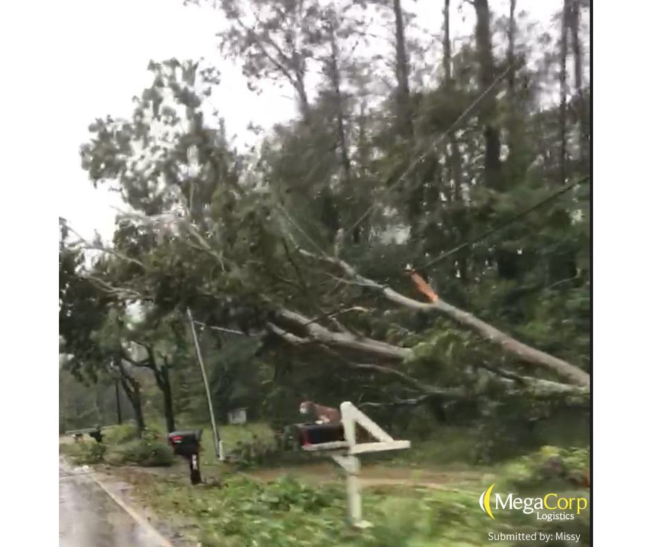 Several trees knocked over onto a power line during hurricane Florence